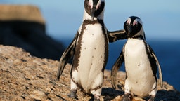Two african penguins hugging on rock at Boulders Beach in Simon's Town, Cape Town, South Africa.