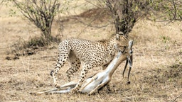 Cheeta with Thompson gazelle kill. Masai Mara, Kenya, Africa.