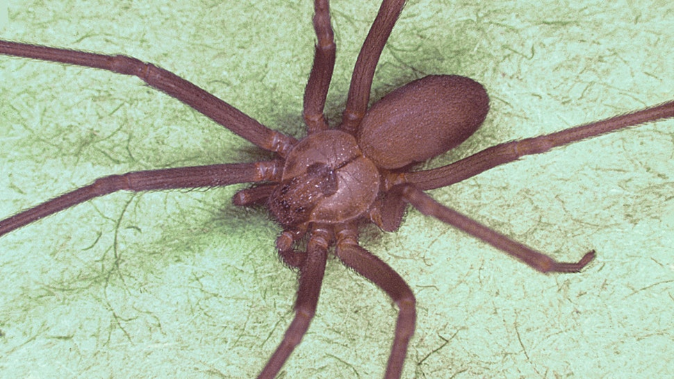 Brown recluse spider, Loxosceles reclusa, Characteristic violin-shaped marking is visible on back. Image courtesy CDC, 1974.