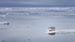 A polar bear on a floating piece of ice.