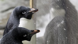 Two one-month-old Adelie penguin (Pygoscelis adeliae) chicks (R) remain near their parents in an Antarctic environment recreated at the Guadalajara Zoo, in Jalisco State, Mexico on February 6, 2019.