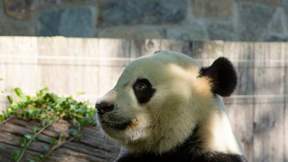 Giant panda Bei Bei eats his frozen 4th birthday cake at the Smithsonian National Zoo in Washington, DC, on August 22, 2019.