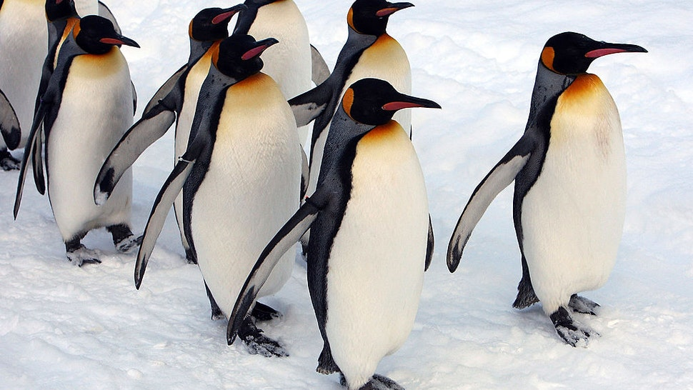 ASAHIKAWA, JAPAN - JANUARY 18: A group of King Penguins walk along a snow-covered path at Asahiyama Zoo on January 18, 2010 in Asahikawa, Japan. The stroll is held every day to counteract their lack of exercise during the winter season.