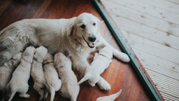Beautiful golden retriever bitch with her large litter of sucking puppies.
