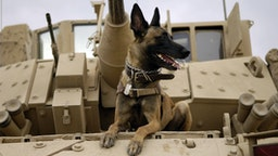 U.S. Air Force military working dog sits on a U.S. Army M2A3 Bradley Fighting Vehicle before heading out on a mission in Kahn Bani Sahd, Iraq, February 13, 2007, with his handler, of the 732nd Expeditionary Security Forces Squadron.