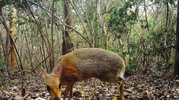 Miniature 'Fanged' Deer-Like Mammal Long Thought Extinct Rediscovered In Vietnam
