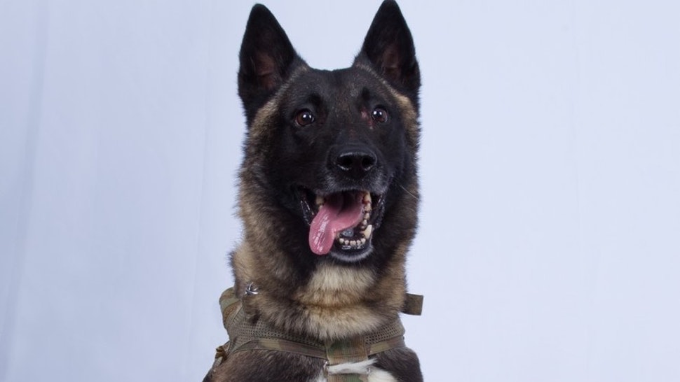 DOD Photo. The military working dog who sustained minor injuries during the raid has returned to duty.