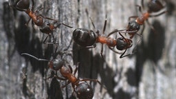 Close-up of red wood ants at Catacik Forests in Mihaliccik district of Turkey's Eskisehir province on July 25, 2019.
