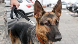 MOSCOW REGION, RUSSIA - SEPTEMBER 27, 2018: A police dog at Moscow's Domodedovo Airport. Artyom Geodakyan/TASS (Photo by Artyom Geodakyan\TASS via Getty Images)