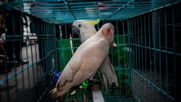 Cockatoo parrots, seized by authorities during an anti-smuggling operation, are seen in a cage during a press conference in Surabaya on March 27, 2019. - Indonesian authorities said March 27 they had seized five komodo dragons and dozens of other animals being sold on Facebook, as the country battles to clamp down on the illegal wildlife trade. (Photo by Juni Kriswanto / AFP) (Photo credit should read JUNI KRISWANTO/AFP via Getty Images)