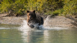 A Brown bear (Ursus arctos) is fishing for salmon along the shore of Lake Crescent in Lake Clark National Park and Preserve, Alaska, USA. (Photo by Wolfgang Kaehler/LightRocket via Getty Images)