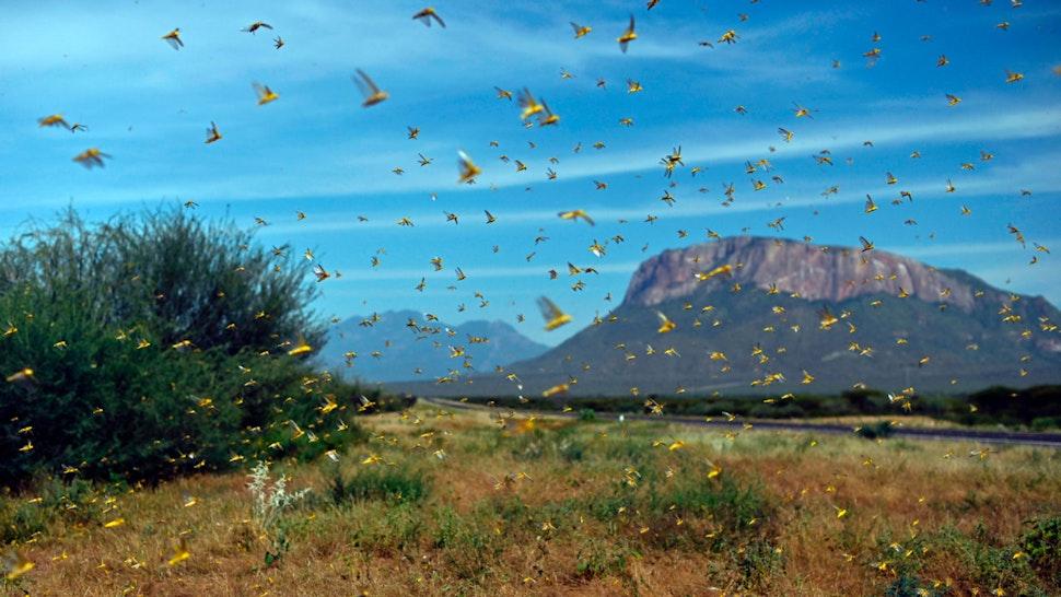 Locusts swarm from ground vegetation as people approach at Lerata village, near Archers Post in Samburu county, approximately 300 kilomters (186 miles) north of kenyan capital, Nairobi on January 22, 2020.