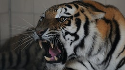 A Bengal tiger, newly arrived in Pakistan from Belgium, roars inside a cage in the municipal zoo in Karachi on July 17, 2012.