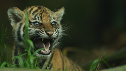 YDNEY, AUSTRALIA - OCTOBER 25: A Sumatran tiger cub is seen on display at Taronga Zoo on October 25, 2011 in Sydney, Australia. The Sumatran tiger cubs, born in August to mother Jumilah, will meet the public for the first time this week. (Photo by Mark Kolbe/Getty Images)