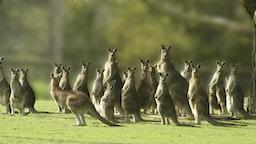 Eastern Gray Kangaroos - stock photo
