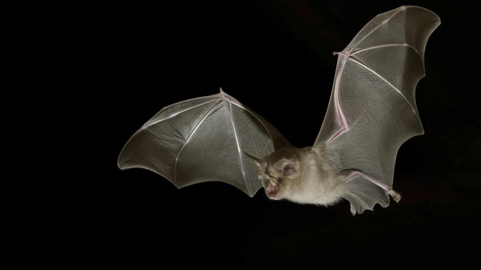 Greater horseshoe bat (Rhinolophus ferrumequinum) in flight at night, Luxembourg