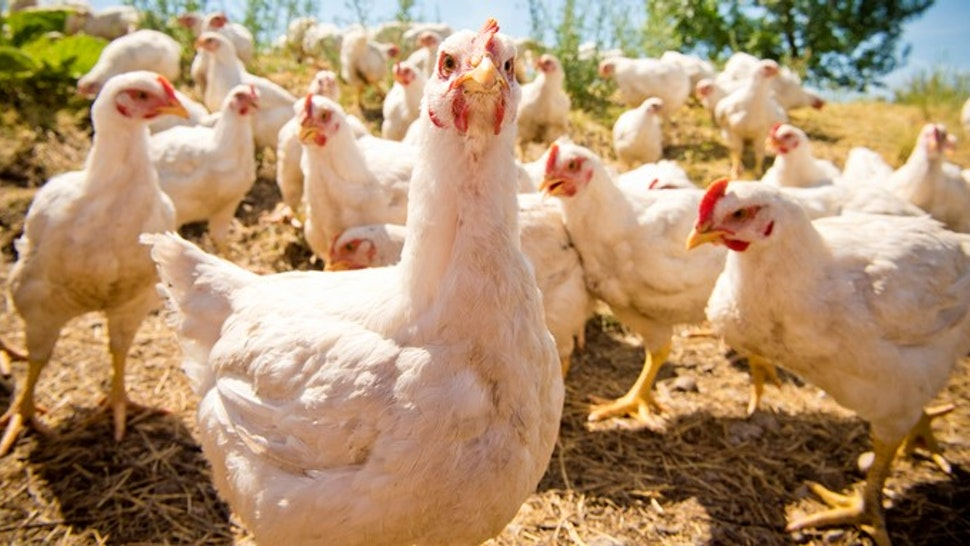 At a farm in Montana, free-range chickens enjoy their freedom. The chickens have white feathers and red combs.