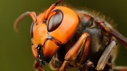 Close-up of Japanese giant hornet.