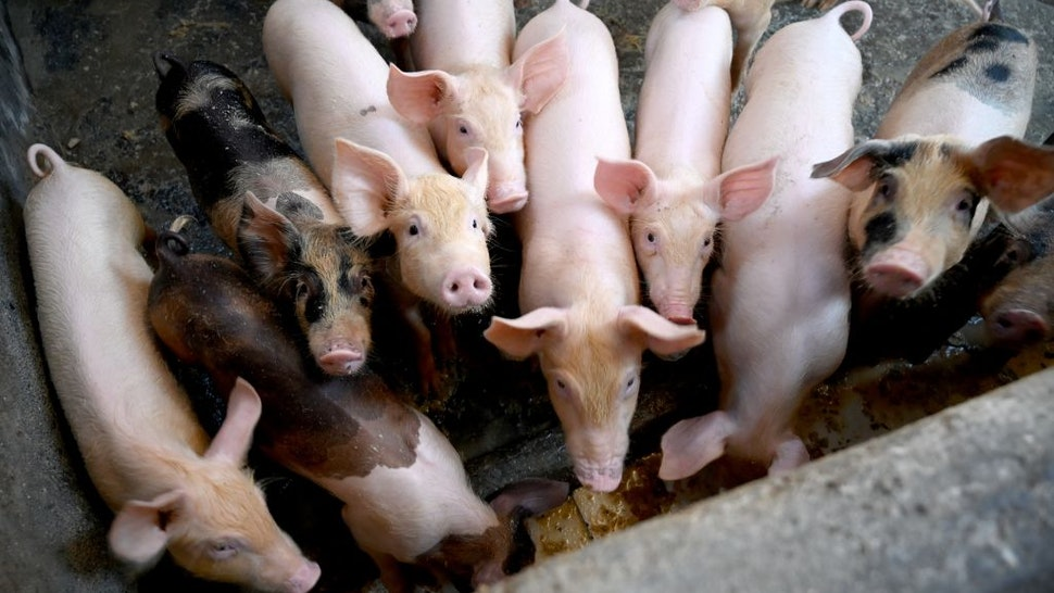 Hogs look on from their pen at a pig farm in Denpasar, Indonesia's Bali island on February 5, 2020. - Hundreds of pigs have died from African swine fever in Bali, marking the Indonesian holiday island's first recorded outbreak, authorities said February 5, after the illness claimed some 30,000 hogs in Sumatra. (Photo by SONNY TUMBELAKA / AFP) (Photo by SONNY TUMBELAKA/AFP via Getty Images)