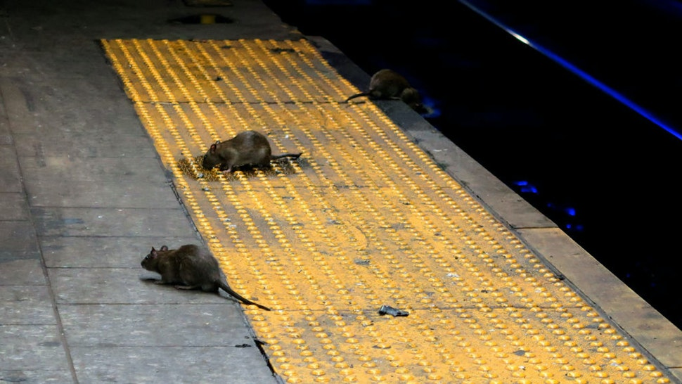 NEW YORK, NY - SEPTEMBER 3: Three rats scavenge for food on the subway platform at Herald Square in New York City on September 3, 2017.