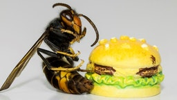 The Asian wasp is a species of wasp of the Vespid family native to Southeast Asia. This wasp, like others of its kind, feeds on insects, but also on bees, although this species is more aggressive than others.