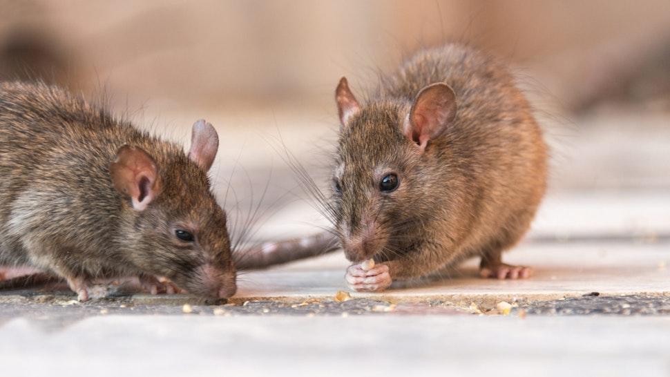 A rat eating seeds in Karni Mata temple, India.