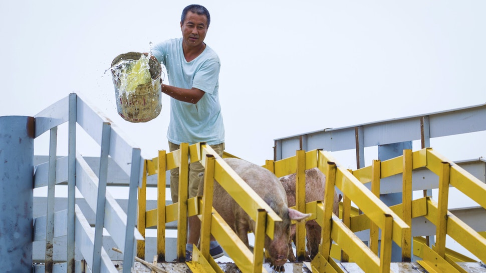 SHENYANG, CHINA - AUGUST 14: A breeder drives pigs to jump from diving platform into water on a farm on August 14, 2017 in Shenyang, Liaoning Province of China. These Pigs, which are forced to jump into water for exercise, are said to taste better than the usual ones so that their price is three times higher. Breeders use this way to raise pigs and provide green food for customers.