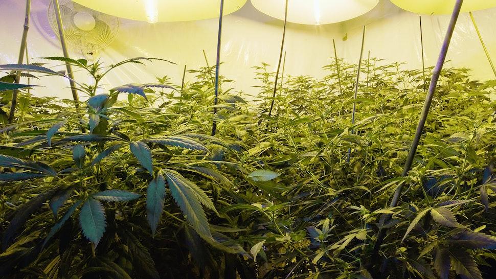 Medical marijuana cultivation - stock photo