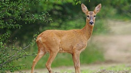A female Roe Deer [Capreolus capreolus] standing in a clearing on the edge of a wood