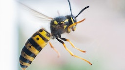 A wasp flies in front of a windowpane.