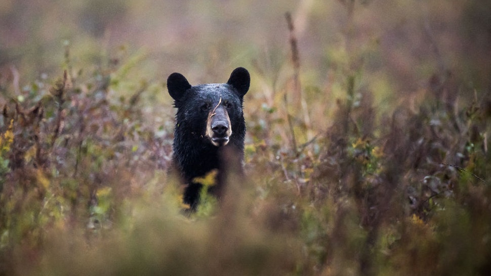 Manns Harbor Redwolf Bear