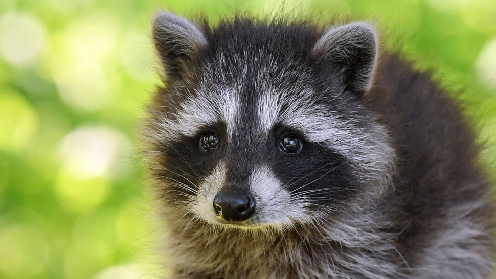 06 June 2019, Brandenburg, Sieversdorf: A young raccoon (Procyon lotor) explores a garden. Already for some days this small nocturnal journeyman strays over properties in the village. Photo: Patrick Pleul/dpa-Zentralbild/ZB (Photo by Patrick Pleul/picture alliance via Getty Images)