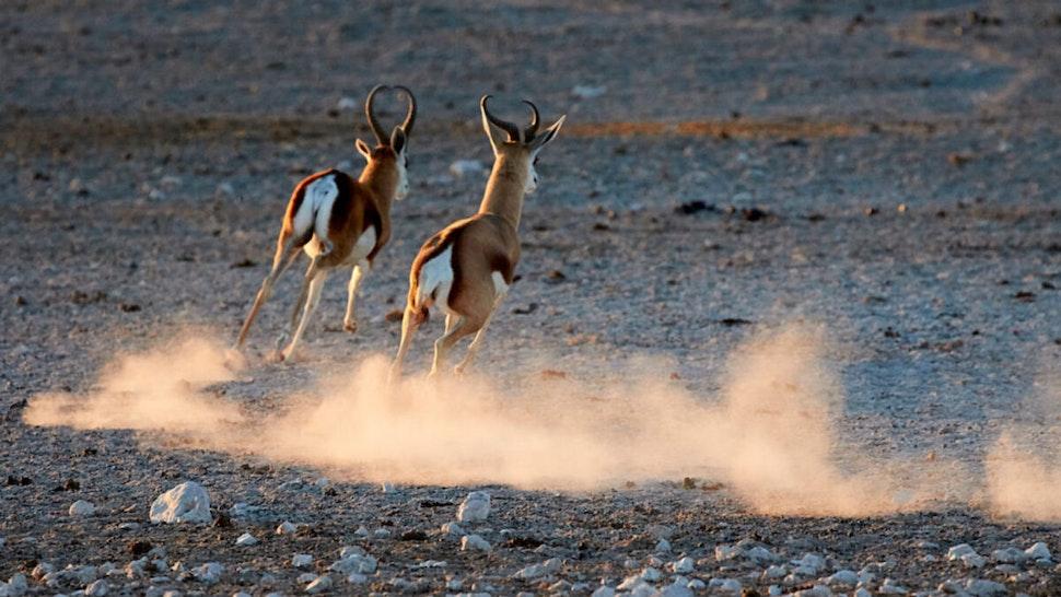 Two male springbok run across the Etosha pan, taken in July 2016, in Etosha National Park, Namibia.