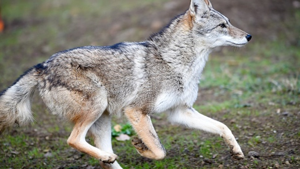 A coyote runs in the animal park of Sainte-Croix on November 22, 2018, in Rhodes, eastern France, as six specimen are recently welcomed for the first time.