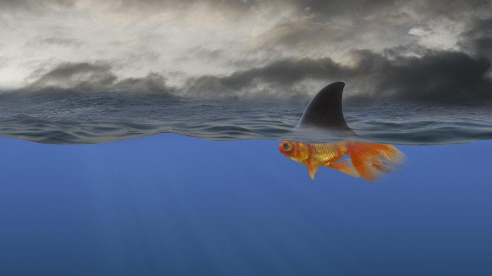 Goldfish with shark's fin swimming underwater - stock photo