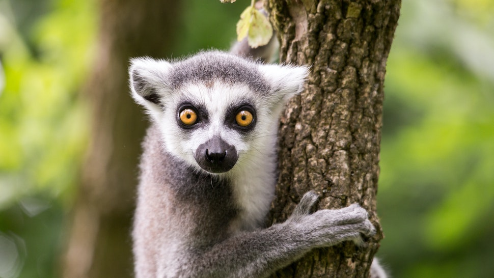 Ring tailed lemur on a tree