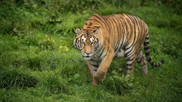 In this picture taken on August 23, 2017, a Siberian tiger is seen at the Hengdaohezi Siberian Tiger Park in Hengdaohezi township on the outskirts of Mudanjiang.