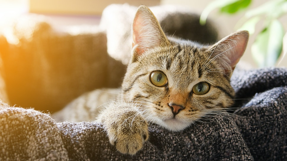 Domestic Cat Lies in a Basket with a Knitted Blanket, Looking At the Camera. Tinted Photo. - stock photo