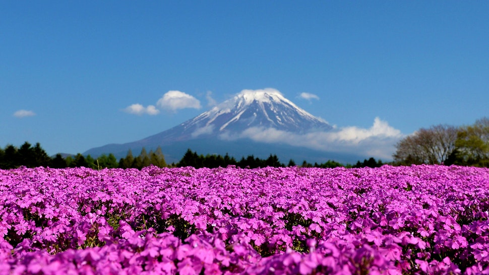 FUJIKAWAGUCHIKO, JAPAN - APRIL 30: Shibazakura (Moss phlox) bloom in front of the Mt.Fuji during the Fuji Shibazakura Festival at Ryujin-ike Pond on April 30, 2016 in Fujikawaguchiko, Japan. About 800,000 moss phlox flowers are in full bloom at the festival held near the Mt. Fuji.