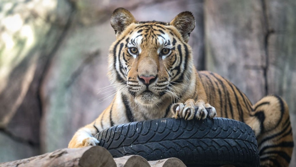 As Thousands Of U.S. Businesses Close For Good, Congress Focuses On Tiger Ownership, Legalizing Marijuana