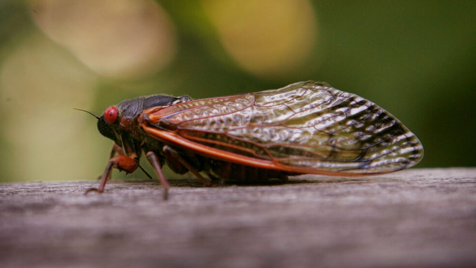 WILLOW SPRINGS, IL - JUNE 11: A cicada sits on a fence at a forest preserve June 11, 2007 in Willow Springs, Illinois. The periodical cicadas are among the millions in the area that have emerged from the ground and taken to the trees during the past couple of weeks as part of their 17-year hatch cycle.