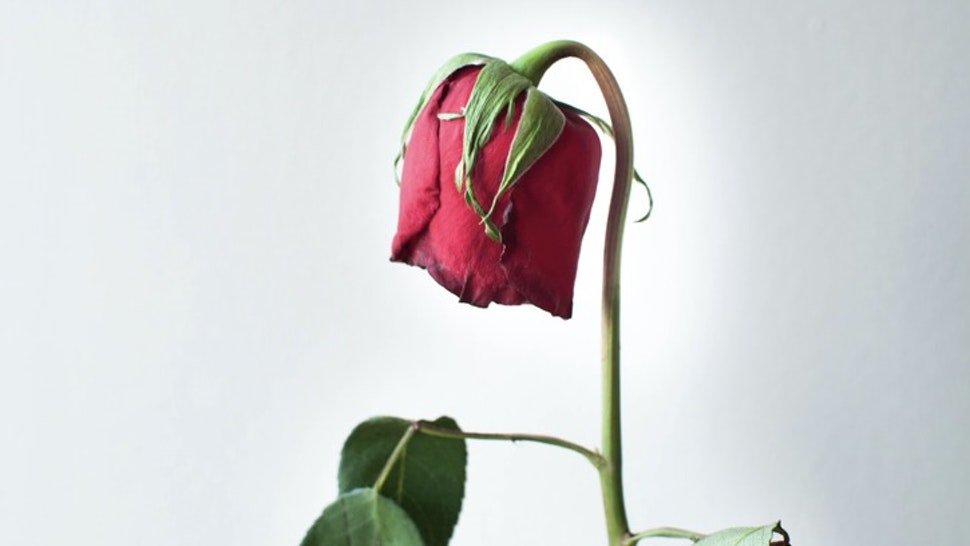 Holding a dried rose flower - stock photo Holding a dried rose flower against white background