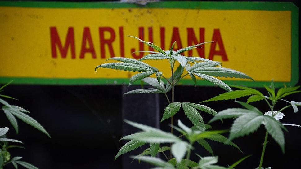 Marijuana plants grow on the grounds of the Bob Marley Museum in Kingston, Jamaica, June 9, 2015. AFP