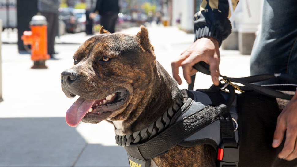 Dark Dynasty K9s (DDK9s) owner Marlon Grennan takes his dog Sossa out for an 'imprinting' session to acclimatize him to the sights and sounds of the city, on May 05, 2019, in New Hampshire, USA. THE TRAINER of legendary internet super dog Hulk has unveiled his secret weapon ferocious protection pitbull Zion. The 85lb colossus is so ferocious that most of his training has to be conducted with him wearing a muzzle for the safety of the trainers. Zion features in the new season of Barcroft TVs hit online show Dog Dynasty, which has racked up hundreds of million views across YouTube, Facebook and Snapchat. Dog Dynasty follows the fortunes of the 175lb Hulk and the other DDK9s protection dogs, whose puppies can sell for anywhere up to $25,000. This season also sees Hulk hit Miami, to meet celebrity rapper Swae Lee, wave goodbye to beloved DDK9 original The General, and gives a glimpse into what its like to take a bite from the Hulk. Dog Dynasty season 4 is available on Snapchat and Facebook with the longer episodes premiering on Barcroft TVs Beastly YouTube channel, starting August 2.