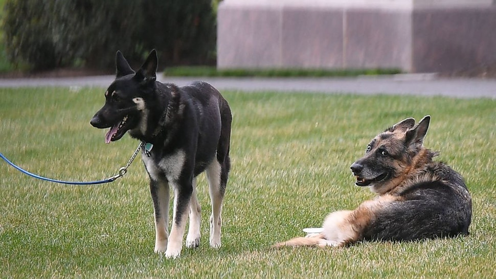 The Bidens dogs Champ(R) and Major are seen on the South Lawn of the White House in Washington, DC, on March 31, 2021