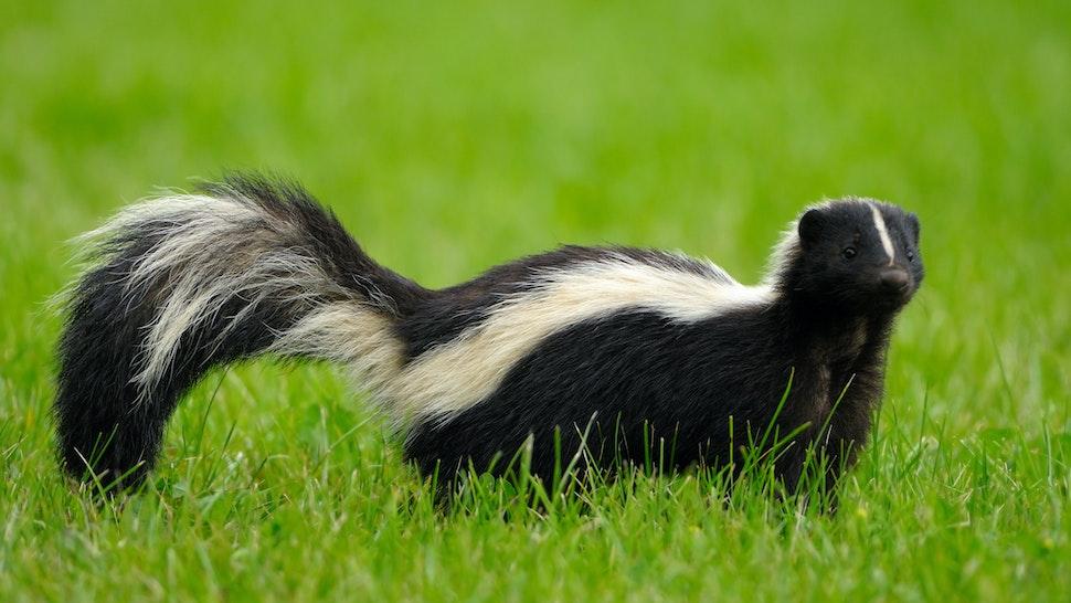 Portrait of skunk in grass - stock photo