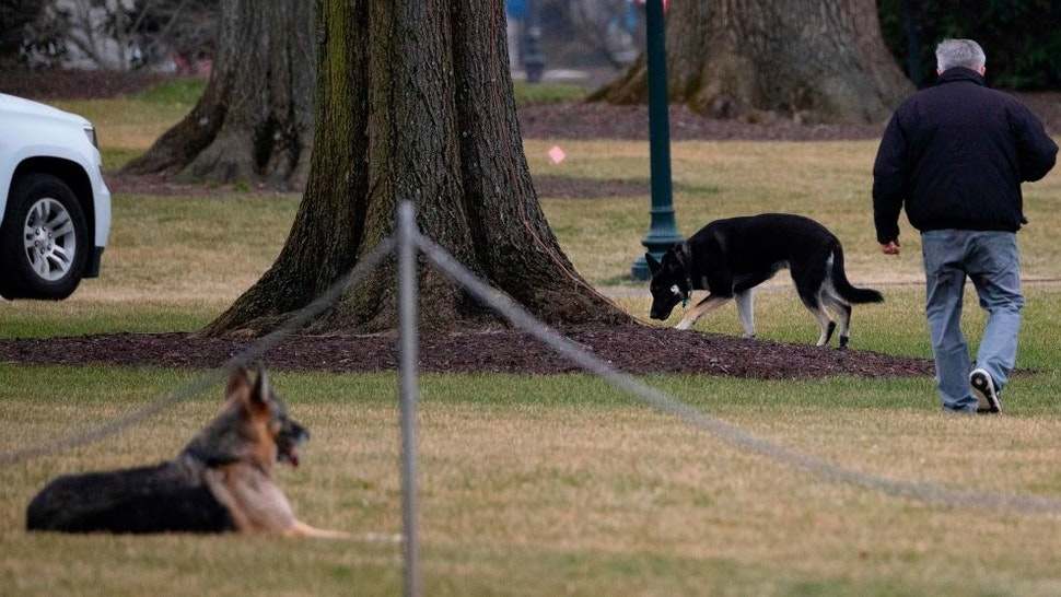 """First dogs Champ and Major Biden are seen on the South Lawn of the White House in Washington, DC, on January 25, 2021. - Joe Biden's dogs Champ and Major have moved into the White House, reviving a long-standing tradition of presidential pets that was broken under Donald Trump. The pooches can be seen trotting on the White House grounds in pictures retweeted by First Lady Jill Biden's spokesman Michael LaRosa, with the pointed obelisk of the Washington Monument in the background.""""Champ is enjoying his new dog bed by the fireplace, and Major loved running around on the South Lawn,"""" LaRosa told CNN in a statement on January 25, 2021. (Photo by JIM WATSON / AFP) (Photo by"""