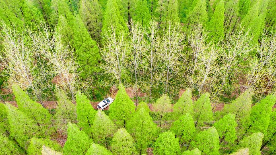 SUQIAN, CHINA - APRIL 7, 2021 - Photo taken on April 7, 2021 shows a lush metasequoia forest covering an area of 10,000 mu in Suqian, East China's Jiangsu Province.