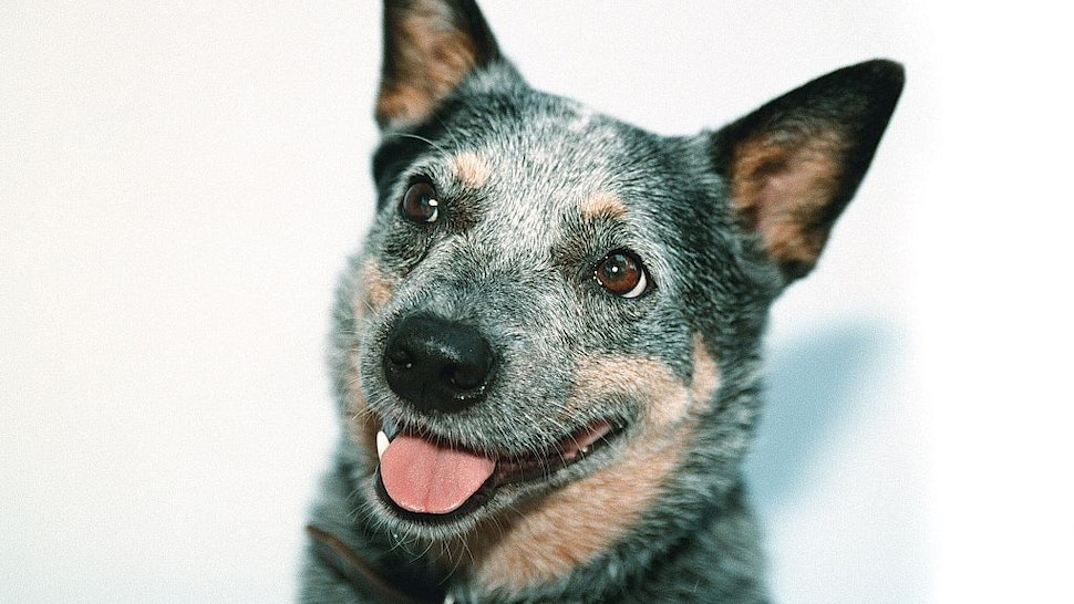 AUSTRALIA OUT) Generic blue heeler cattle dog, 23 January 2001. AFR pic by TANYA LAKE (Photo by Fairfax Media via Getty Images via Getty Images)