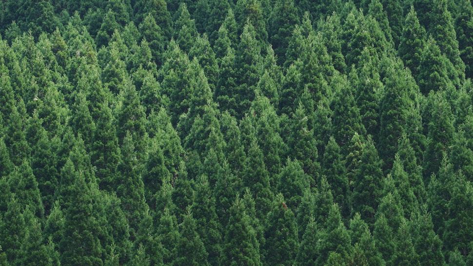 Full Frame Shot Of Pine Trees In Forest - stock photo